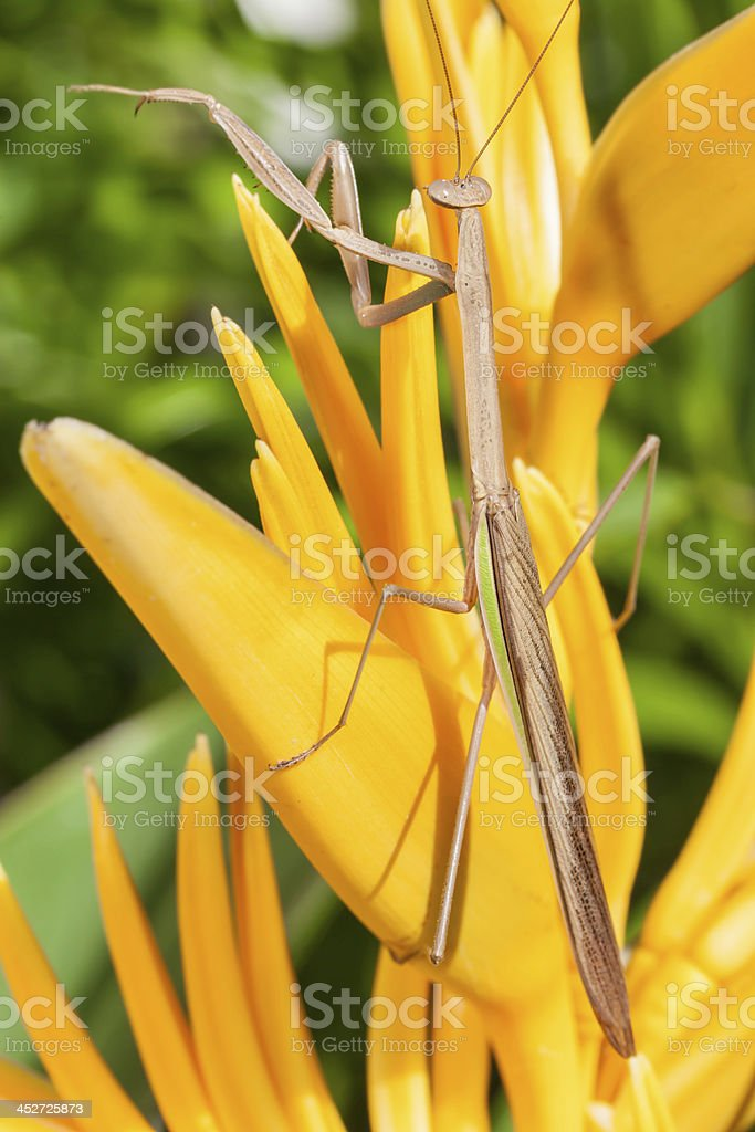 The Mantis royalty-free stock photo