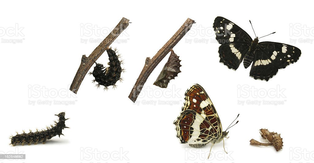 The Map butterfly life cycle stock photo