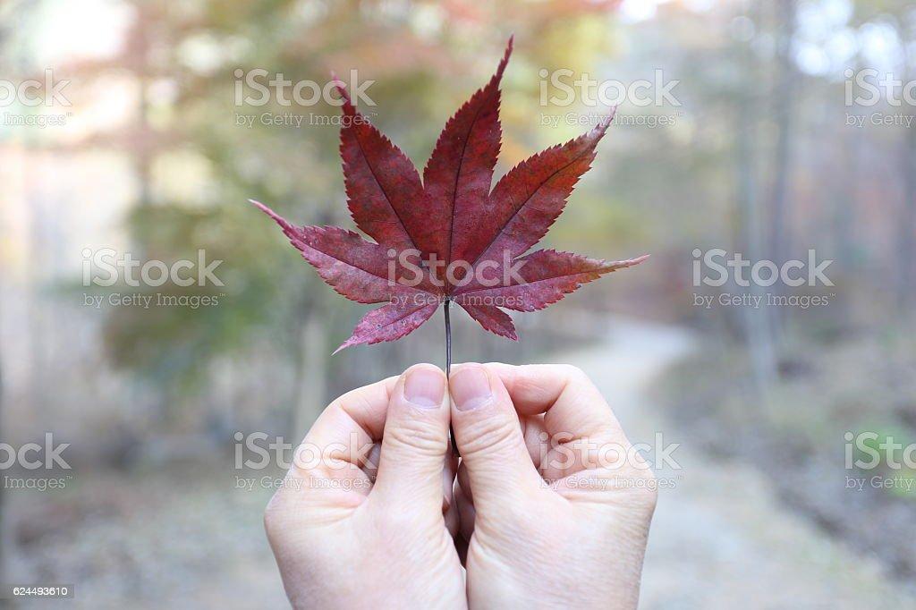 The maple leaf fall stock photo