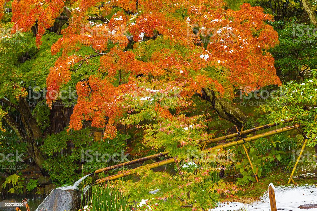 The Maple leaves stock photo