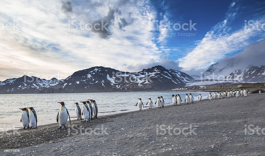 The march of the King Penguins stock photo