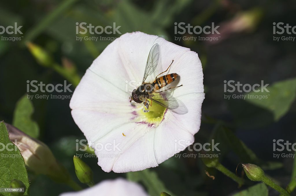 Marmalade hoverfly and field bindweed royalty-free stock photo