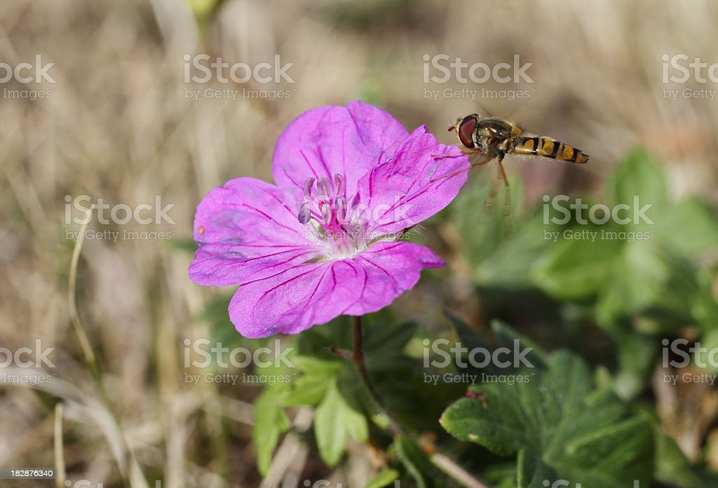 Wasp mimic marmalade hoverfly Episyrphus balteatus on bloody cranesbill stock photo