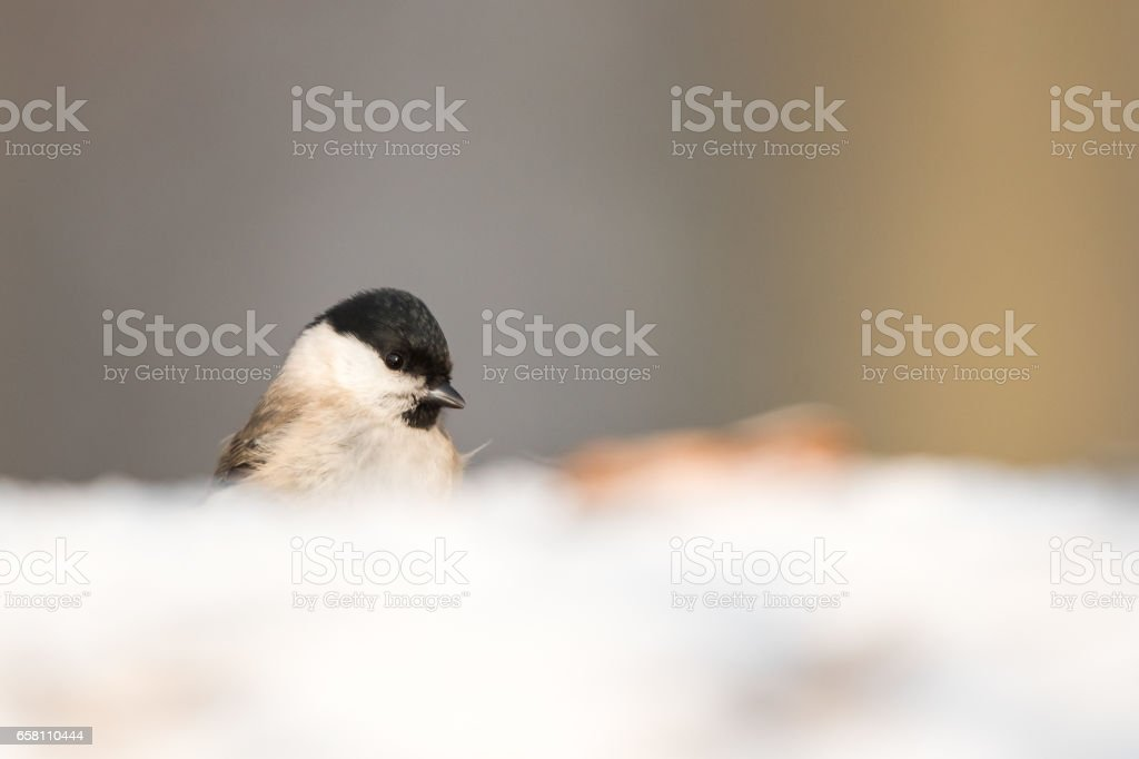 The marsh tit (Poecile palustris) stock photo