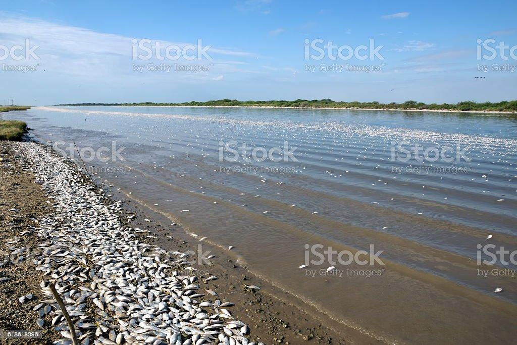 The mass death  fish, Texas, Colorado River stock photo
