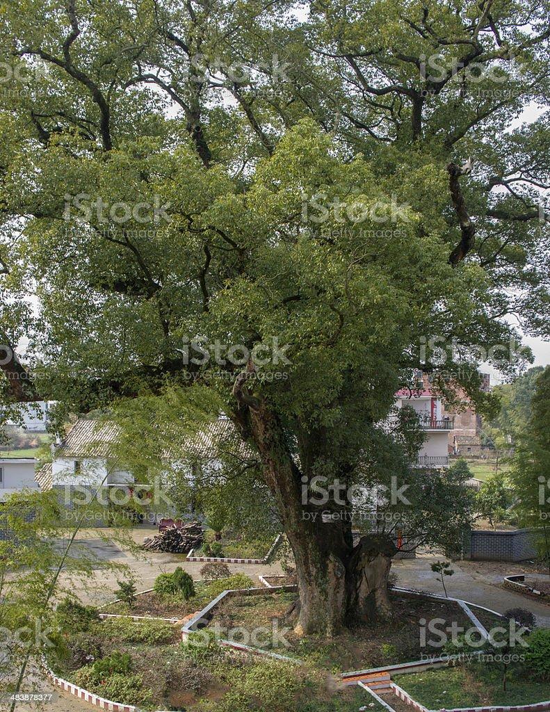 the  massive 1000-year old  camphor tree stock photo