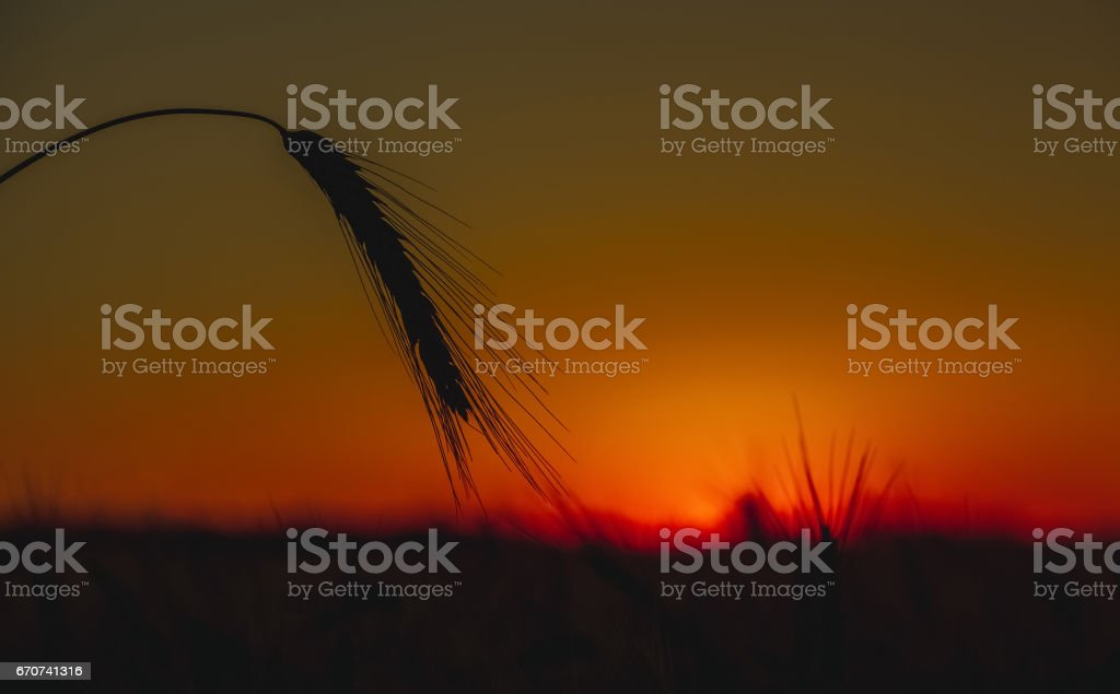 The mature, dry ear of golden wheat in the drops after rain in a field at sunset stock photo