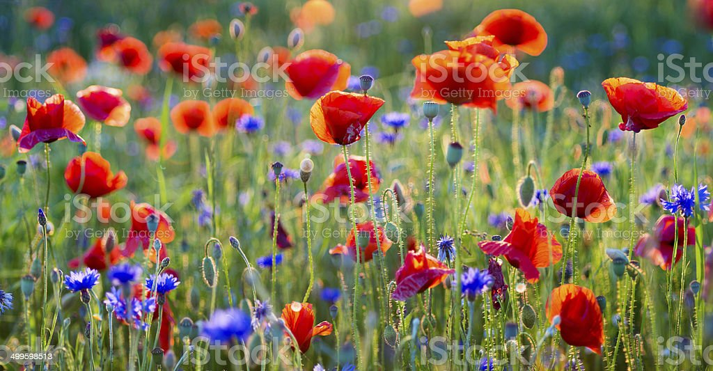The May meadow, poppies and cornflowers stock photo