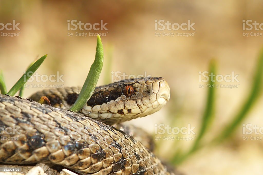 the meadow viper stock photo
