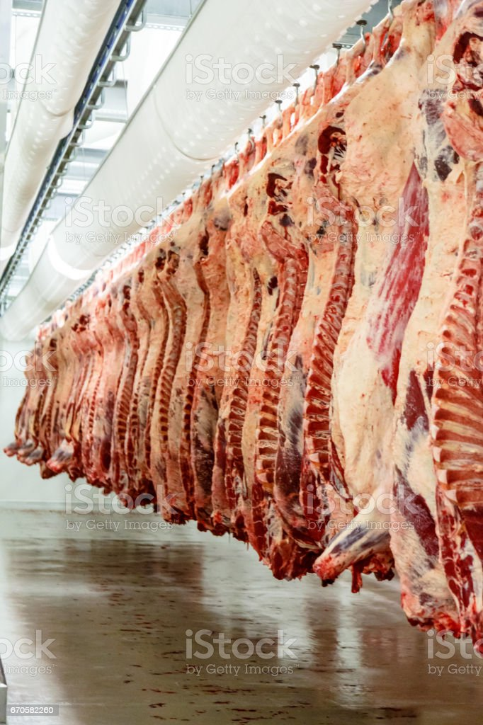 The meat processing plant. carcasses of beef hang on hooks. stock photo