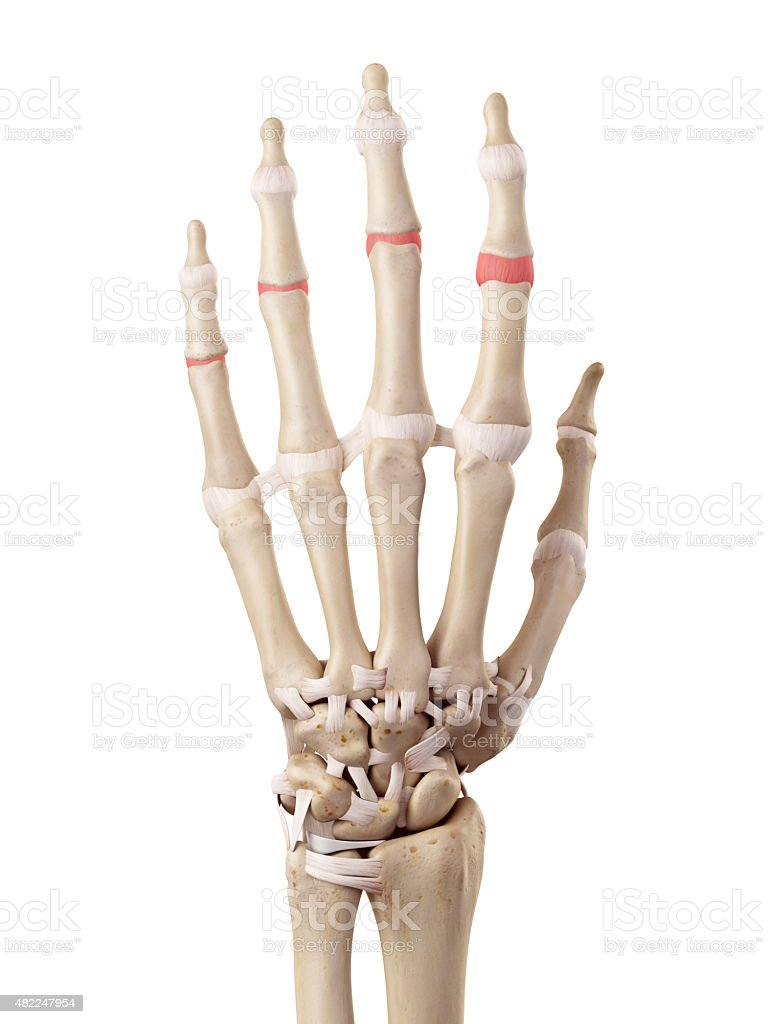 The medial joint capsules stock photo