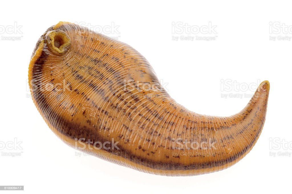 The medical leeches of isolated on a white background stock photo