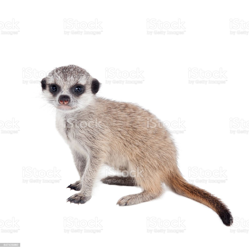 The meerkat or suricate cub, 2 month old, on white stock photo