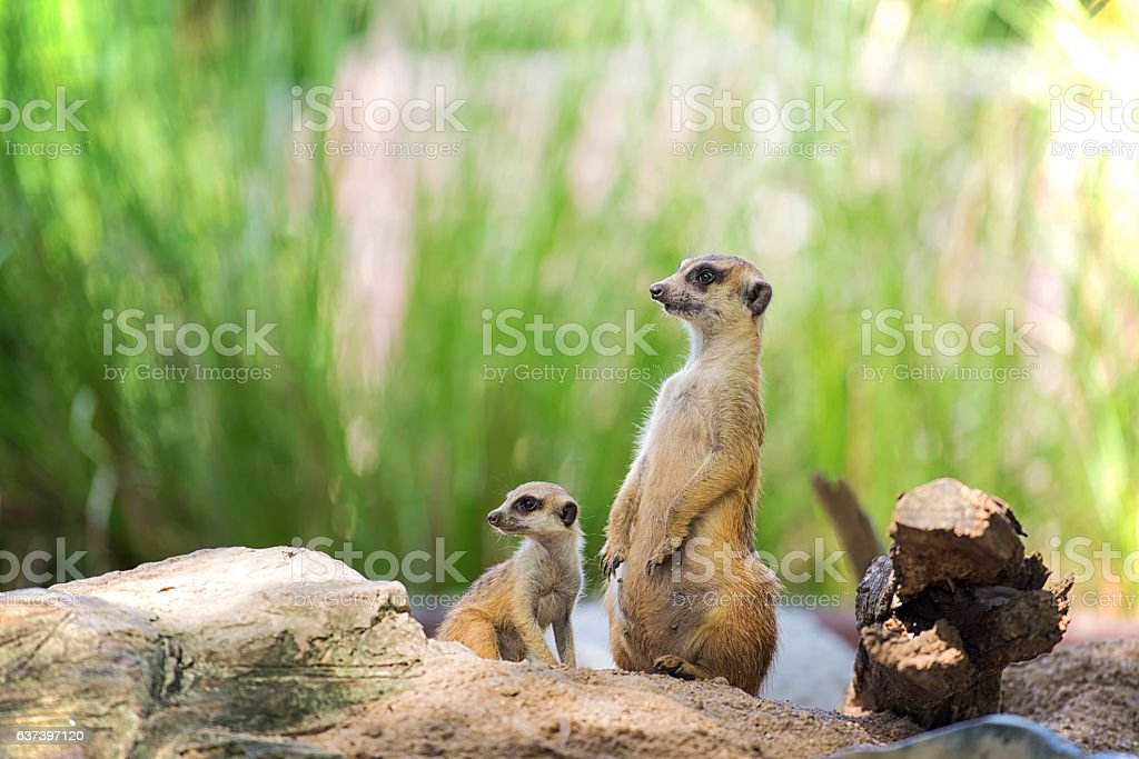 The Meerkats stock photo