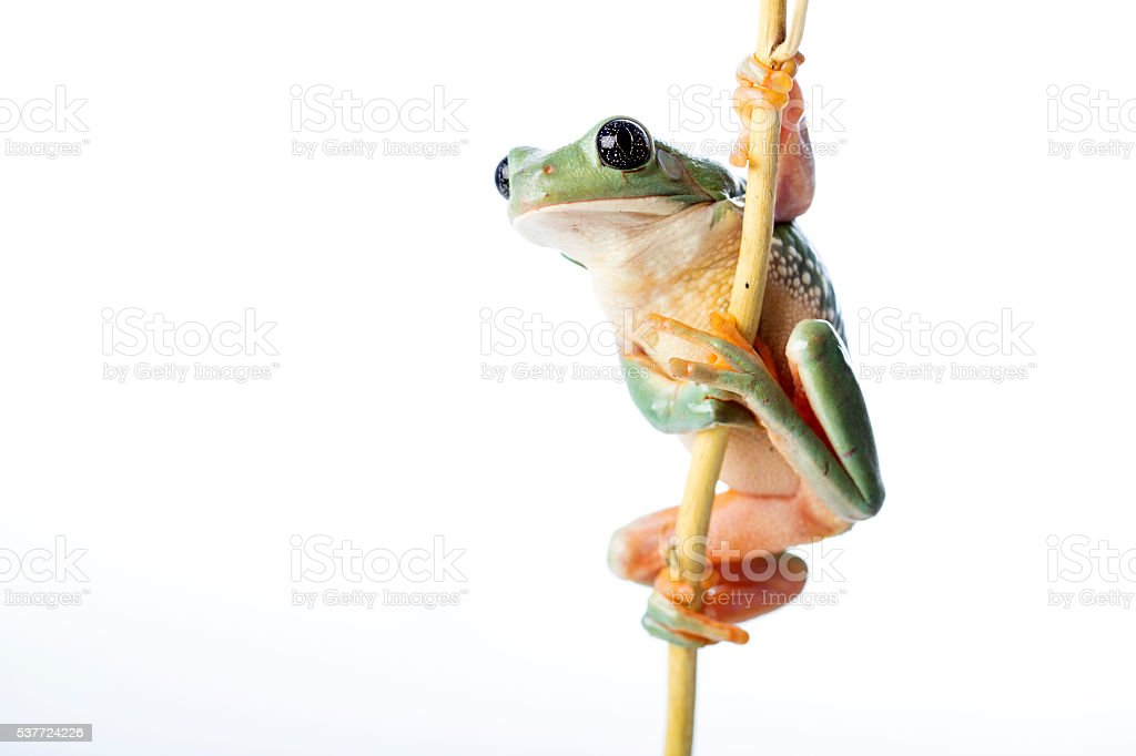 The Mexican leaf frog stock photo
