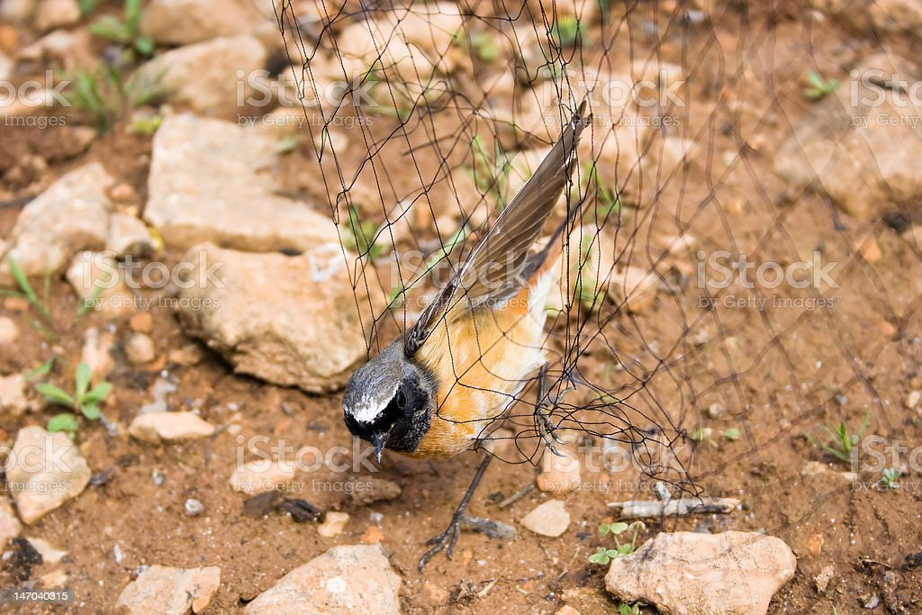 The Migratory Redstart. royalty-free stock photo