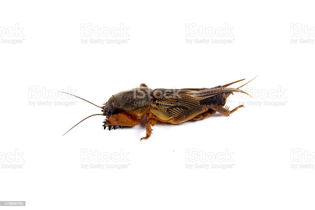 the mole cricket stock photo