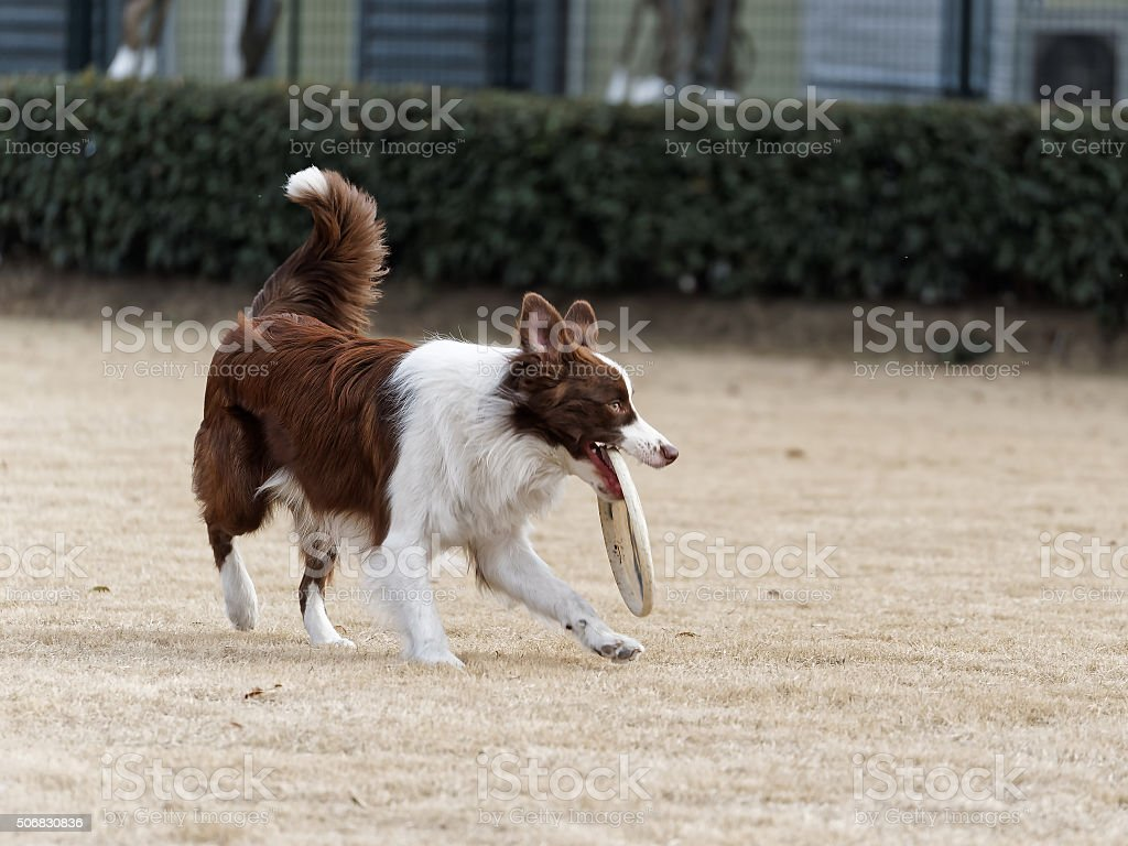 The moment Border collie catching frisbee with its mouth open stock photo