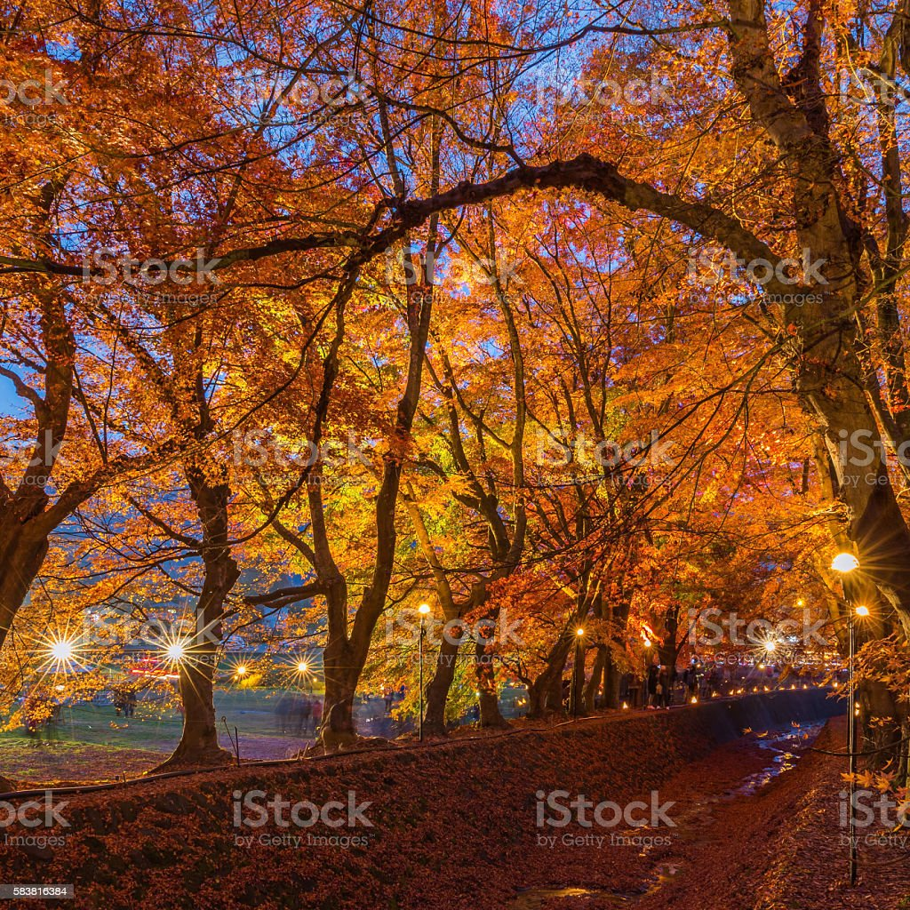 The Momiji or Maple will light up at night. stock photo