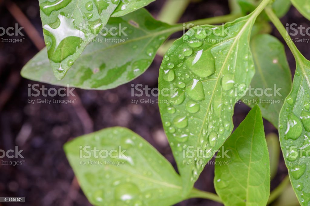 The morning leaves were covered with dew. stock photo