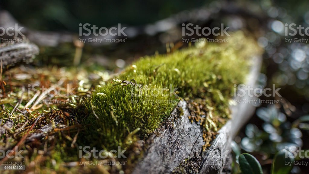 The moss on a dead tree stock photo