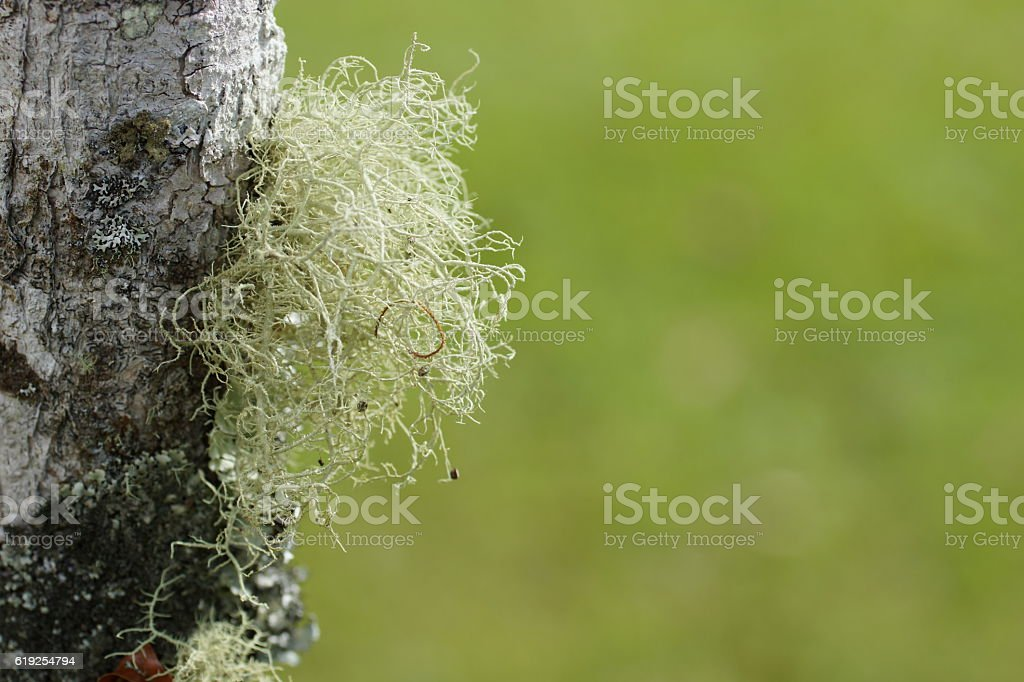 The moss on the tree. Poas Volcano nature. Costa Rica stock photo