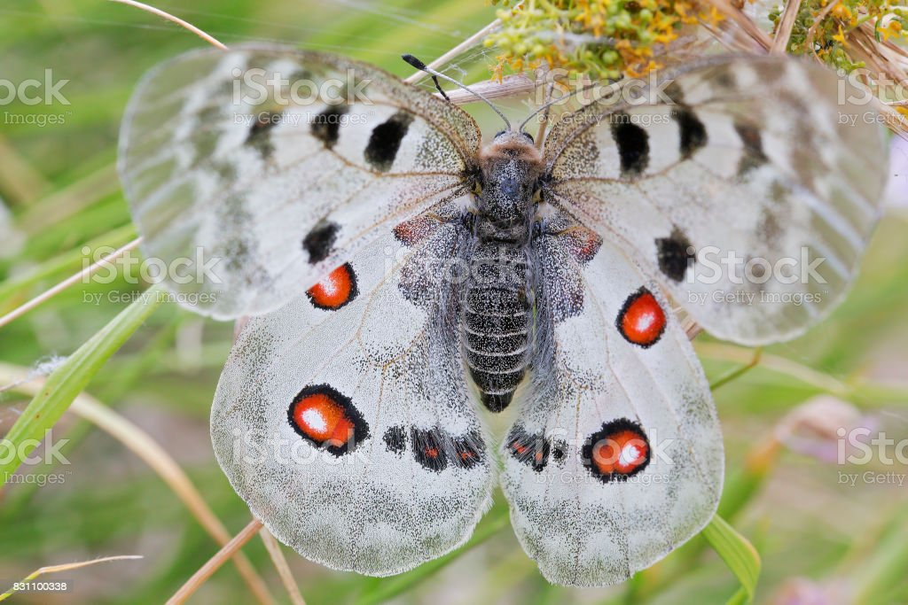The most beautiful butterfly stock photo