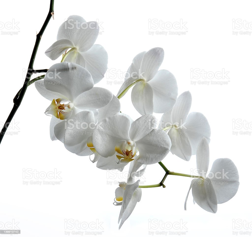 the most beautiful orchid royalty-free stock photo