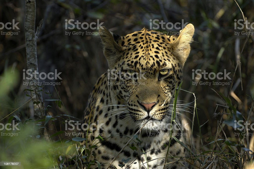 The most powerfull predator - a male leopard stock photo