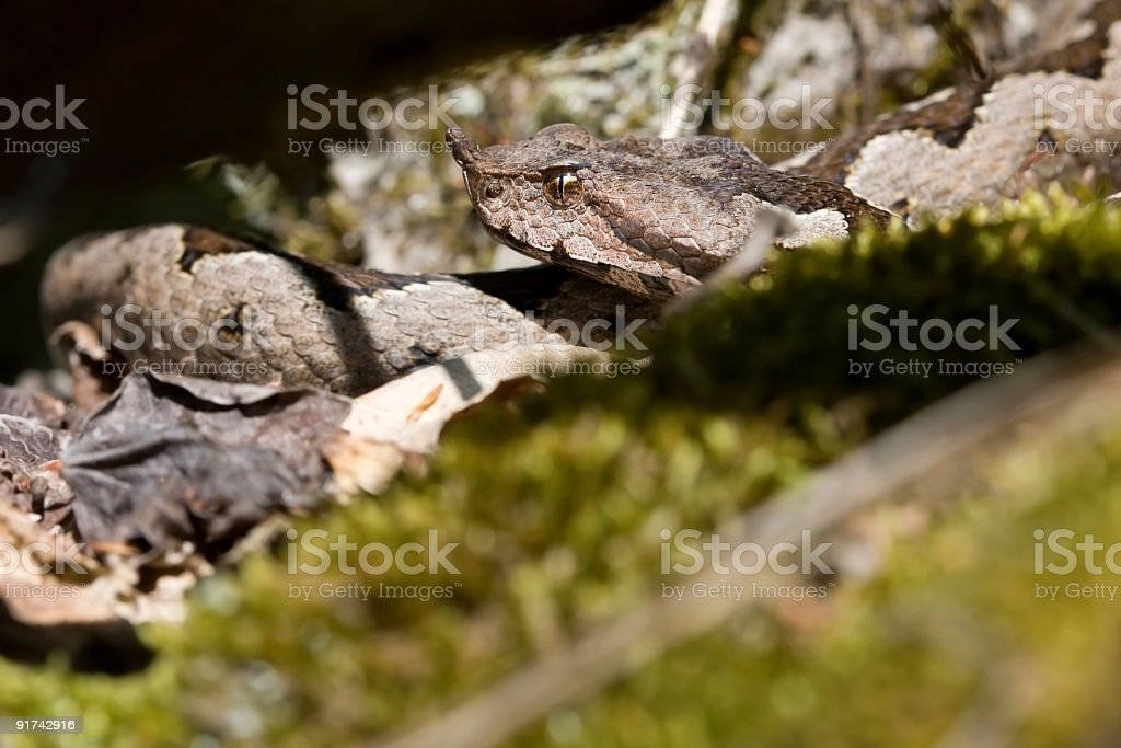 The most venomous snake in Europe stock photo