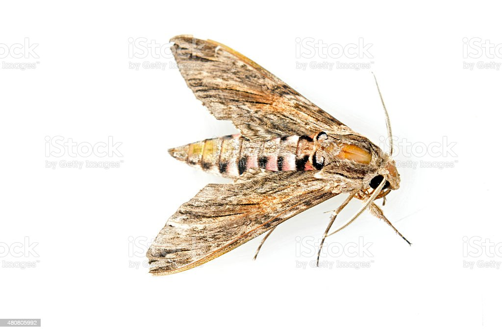 The moth on a white background stock photo