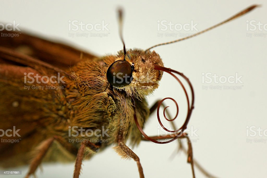 The Moth stock photo