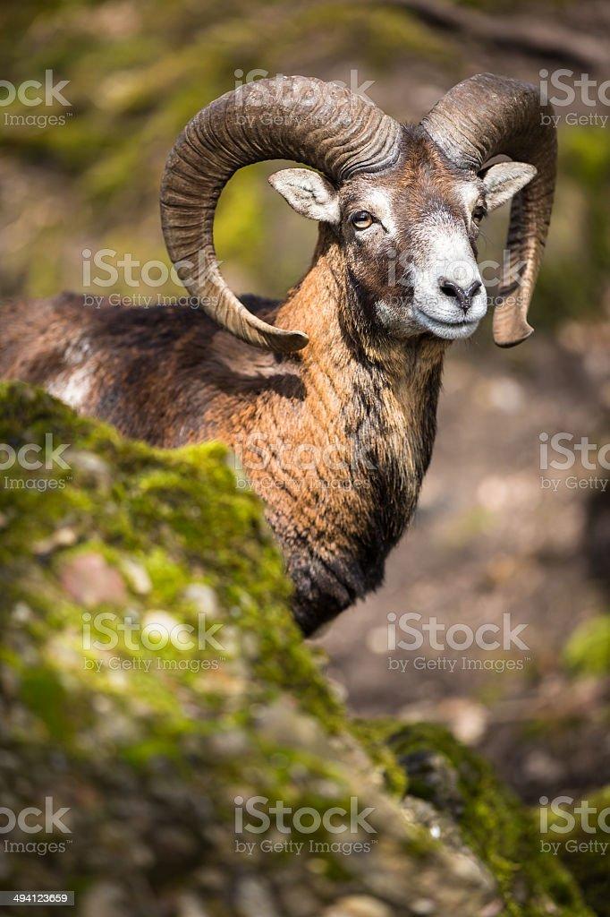 The mouflon (Ovis orientalis) stock photo