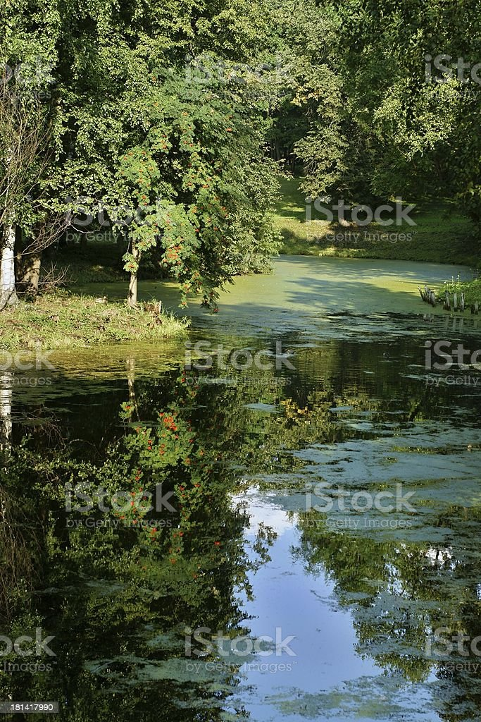 The mountain ash is reflected in a pond royalty-free stock photo