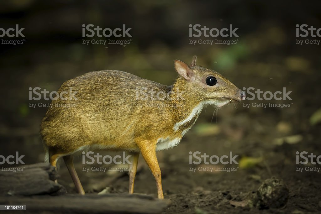 The Mouse deer royalty-free stock photo