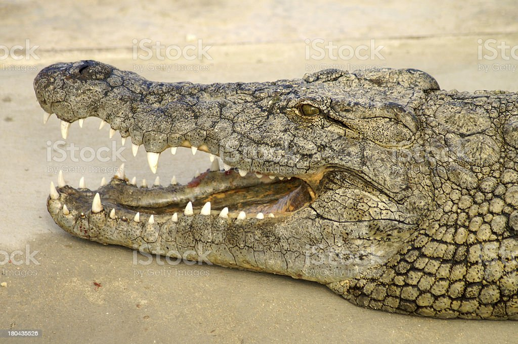 The mouth of a crocodile royalty-free stock photo