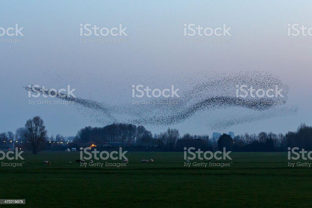 The Murmurations of Starlings stock photo
