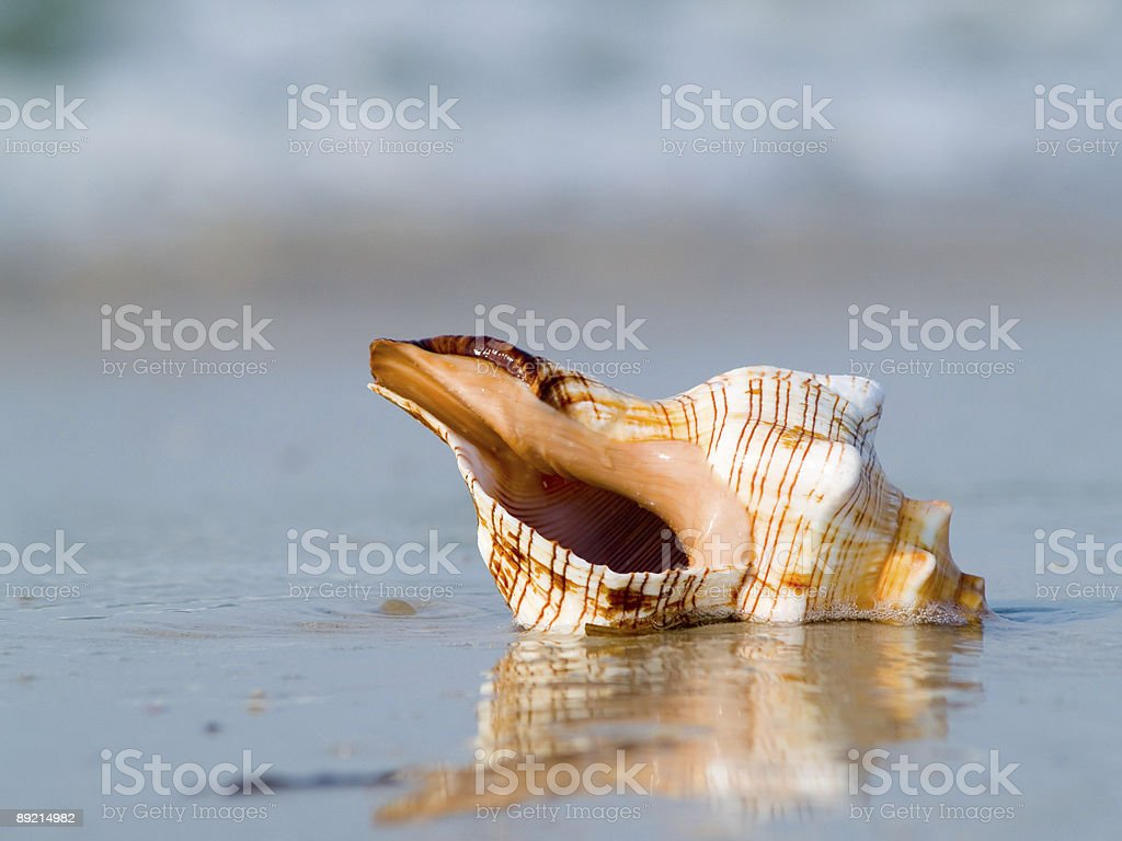 The mussel royalty-free stock photo