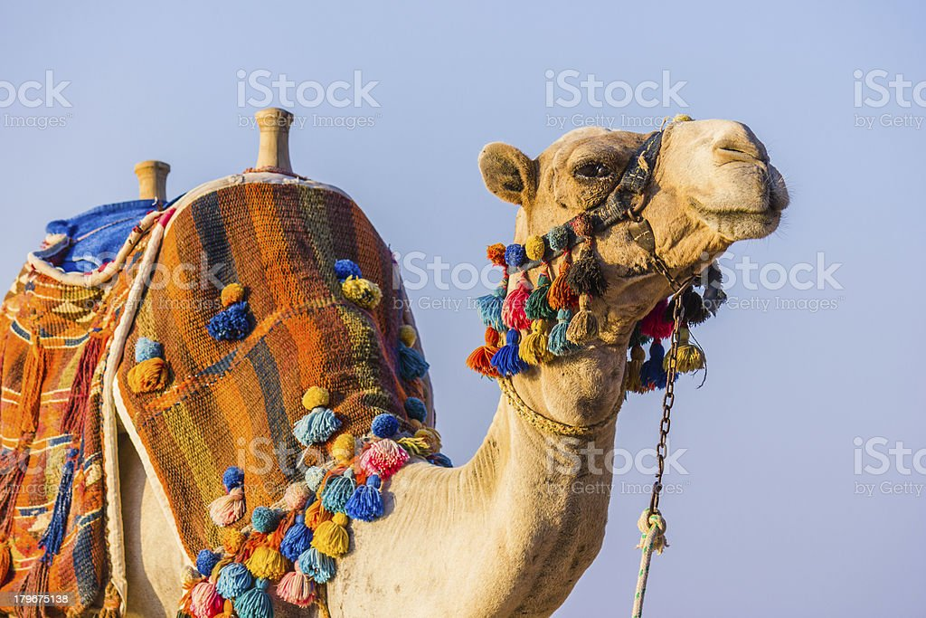 The muzzle of African camel stock photo
