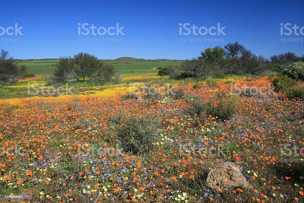 The Namaqualand stock photo