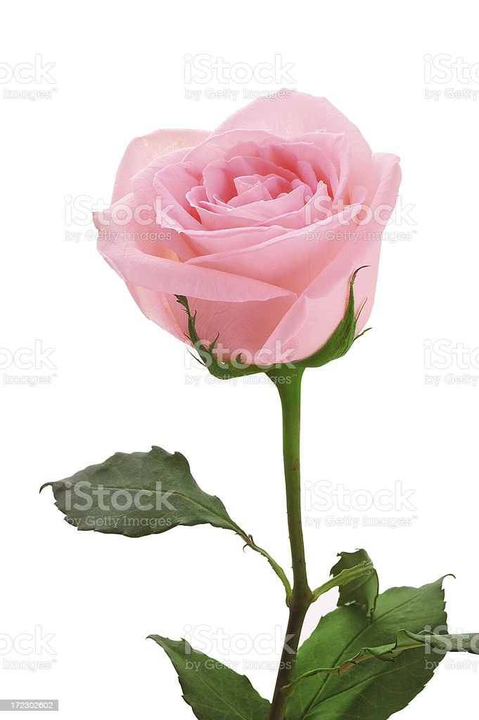 the name of a rose stock photo