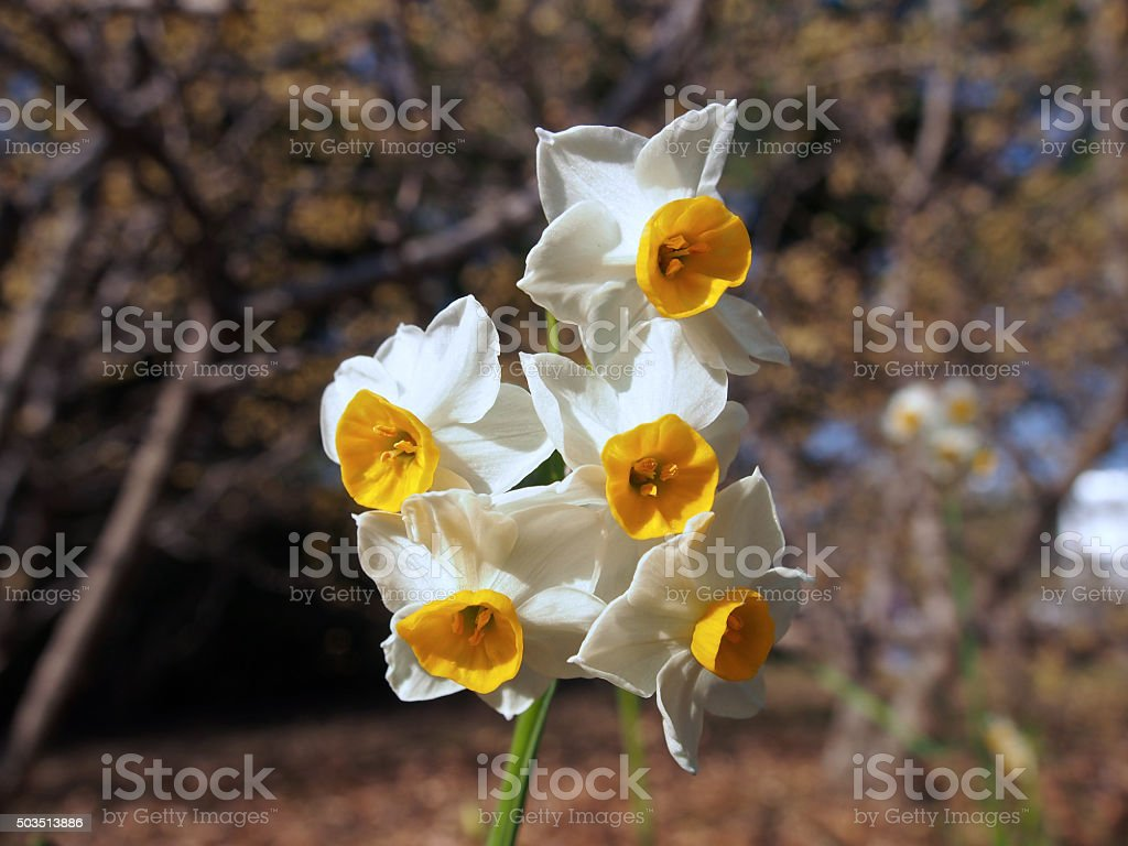The narcissus stock photo