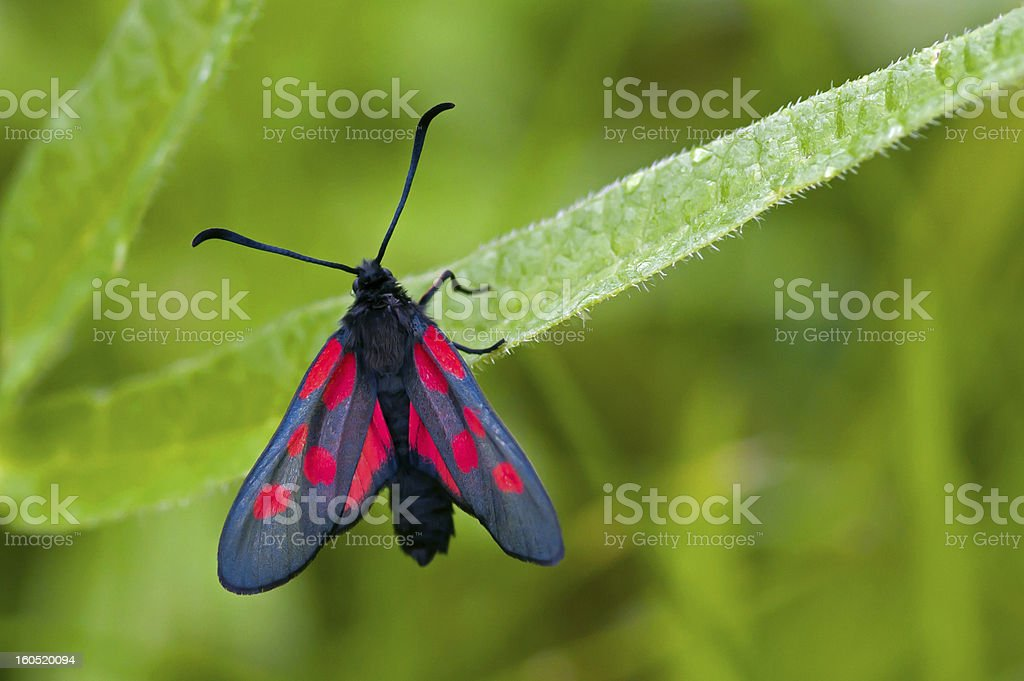 The Narrow-Bordered Five-Spot Burnet (Zygaena lonicerae) royalty-free stock photo