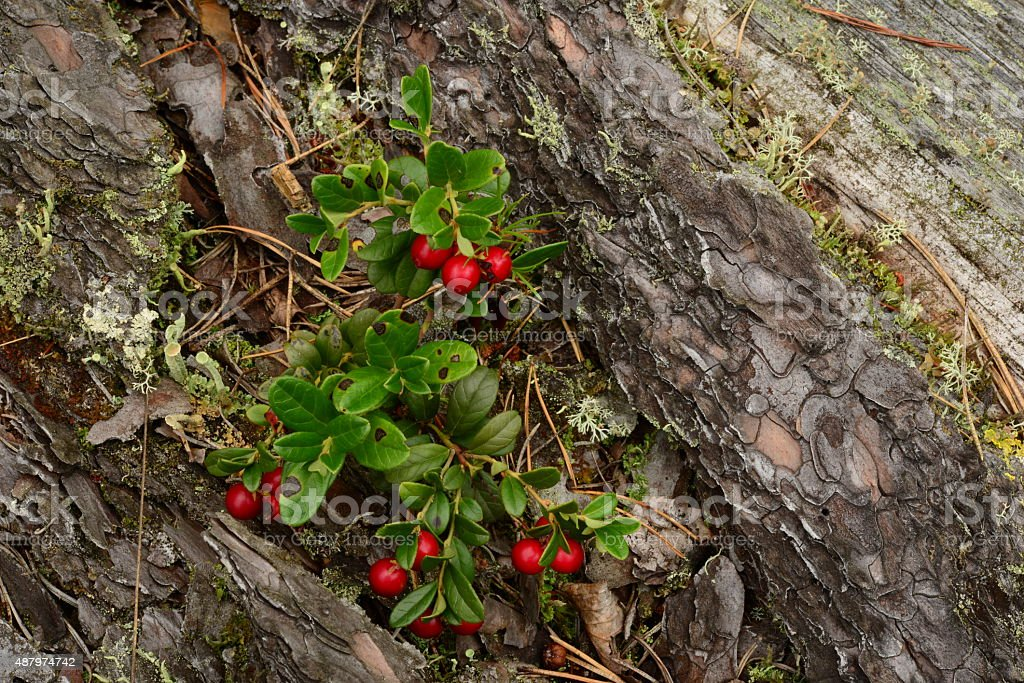The natural composition of red cranberries on an old pine stock photo