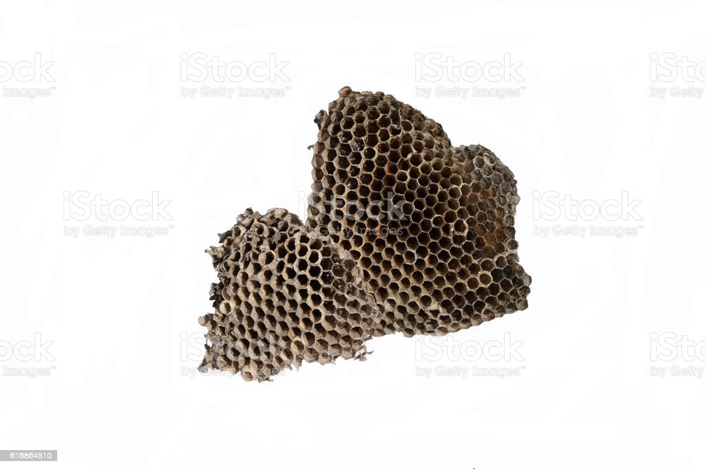 The nest of wasps with honey in the honeycomb cells stock photo