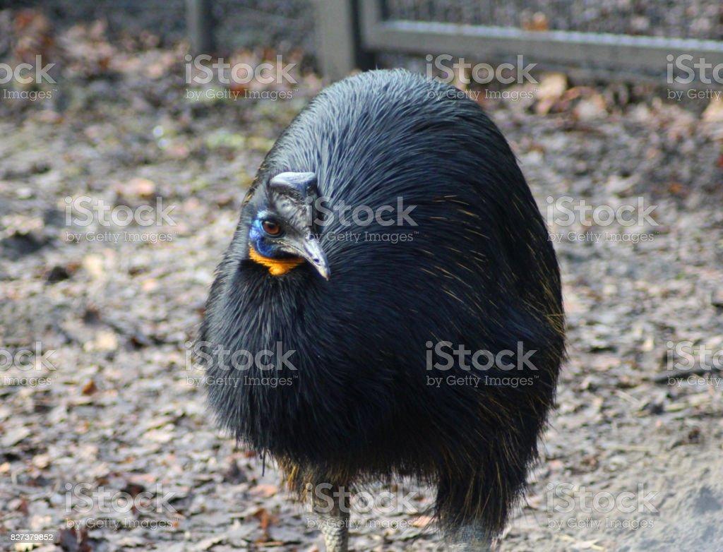 The northern cassowary (Casuarius unappendiculatus) stock photo