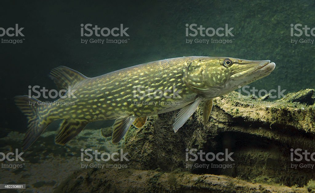 The northern pike fish Esox lucius royalty-free stock photo