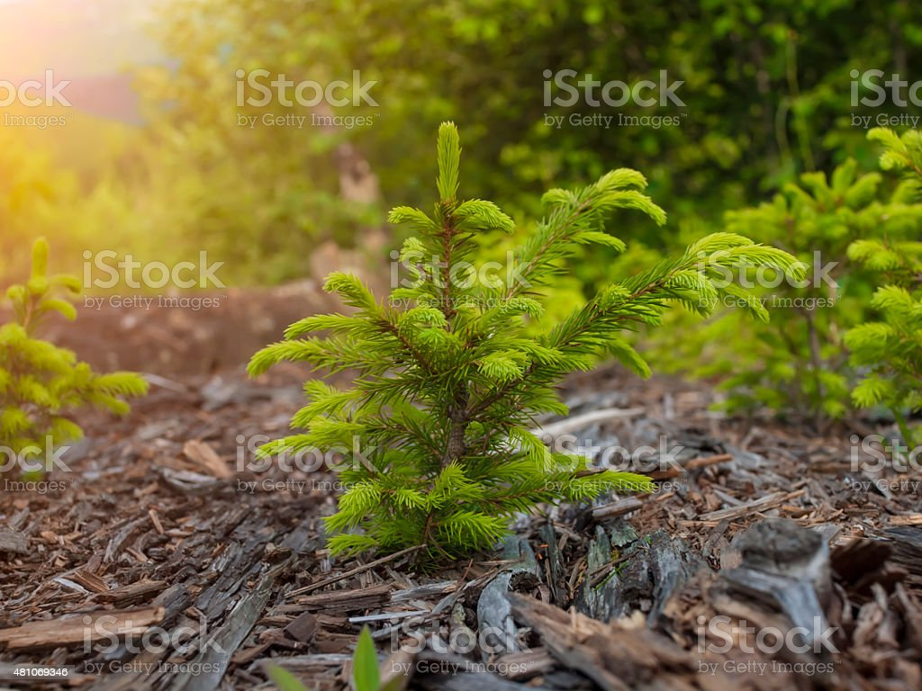 The Norway spruce. stock photo
