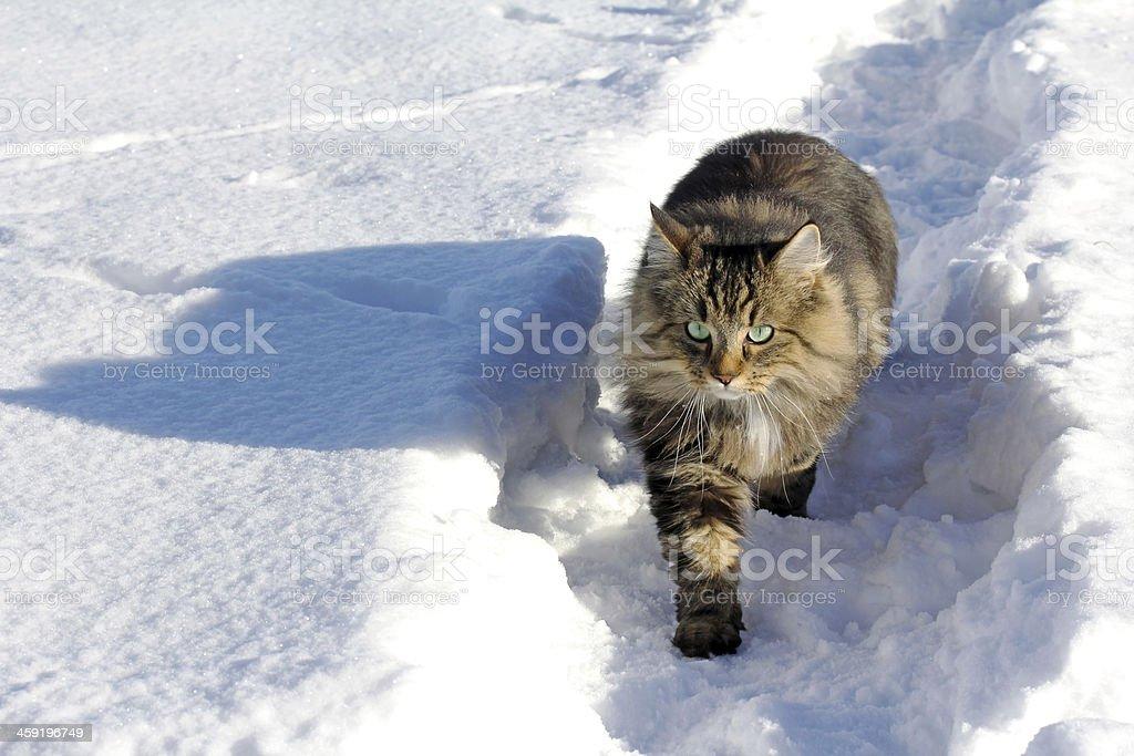 the Norwegian cat stock photo