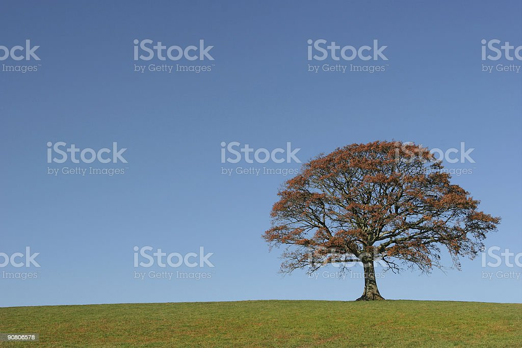 The Oak In Autumn royalty-free stock photo